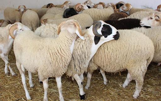 عاجل/ نشر أسعار أضاحي العيد هذا العام في تونس